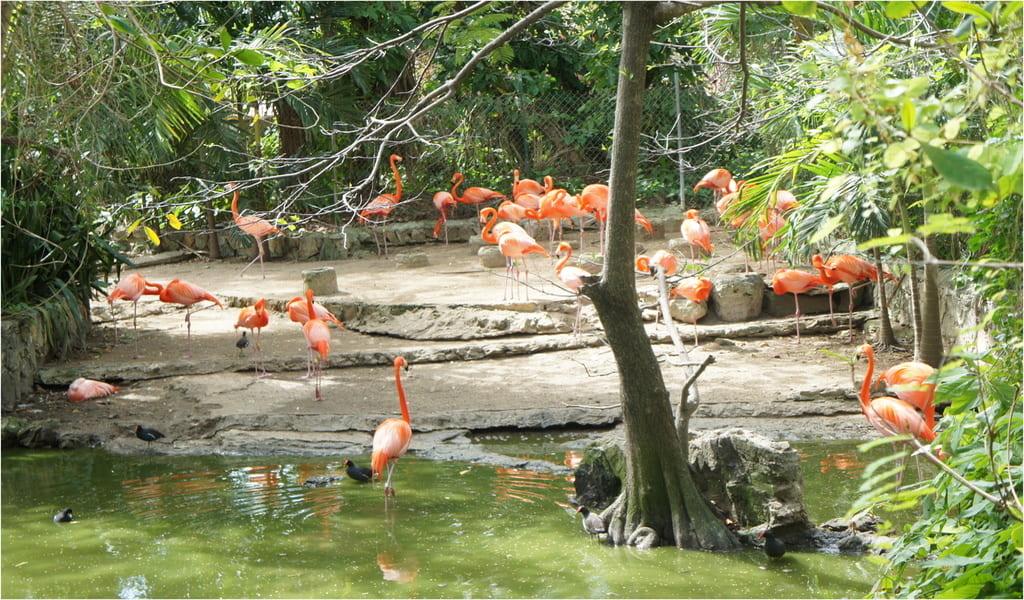 Les flamants des Caraibes à l'Ardastra Gardens